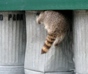 raccoon as localvore1