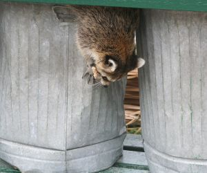 raccoon as localvore2