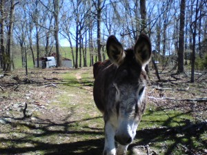 Male donkey