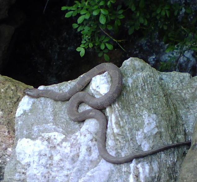 ustaların dikkatine yardım bekliyorummm Small-water-snake-on-white-rock-cr